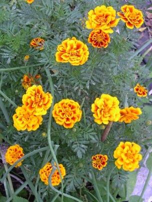 marigolds repel mosquitos naturally.JPG