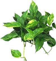 plant-golden-pothos-removes-formaldehyde.jpg